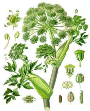 アンジェリカの植物画