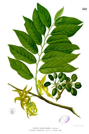 イランイランの植物画