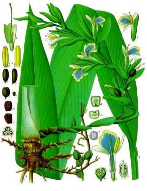 カルダモンの植物画