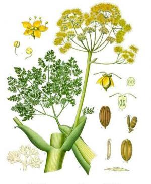 ガルバナムの植物画