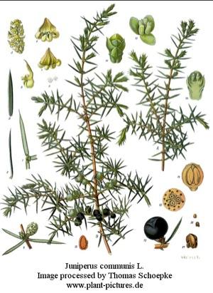 ジュニパー植物画