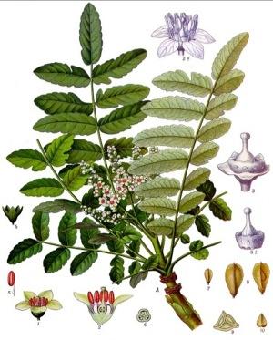 フランキンンセンス植物画