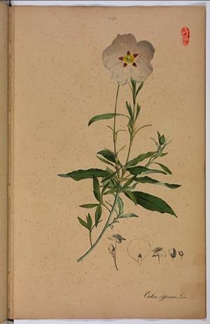 ラブダナム植物画
