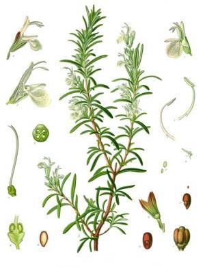 ローズマリーの植物画