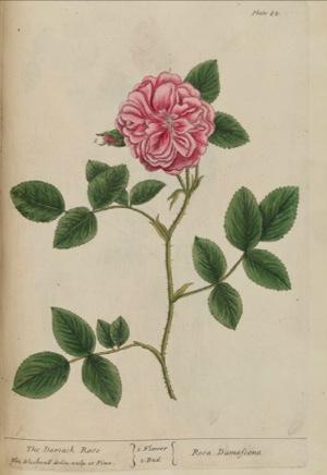 ローズ・ダマセナの植物画